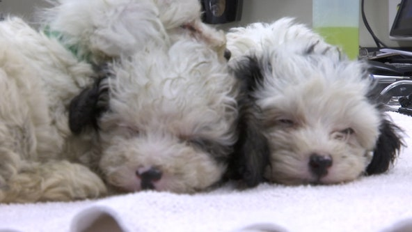 Lottery for applicants who want to adopt dogs rescued from Tampa breeder takes place Thursday