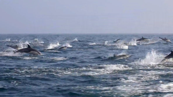 Dolphin stampede captured near Newport Beach's sightseeing tour boat