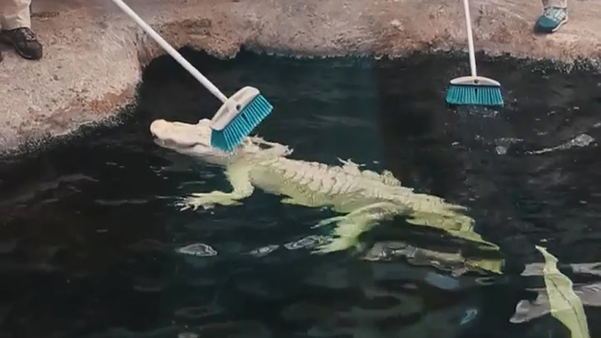 Albino alligator enjoys bath time at NC aquarium