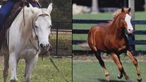 Sheriff warns horse owners after several are found slaughtered for meat in Florida