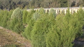 Get a real Christmas tree at Ergle's