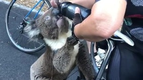 Cyclist gives thirsty koala a drink during severe heatwave in Australia