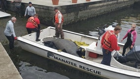 Manatee rescued from Kings Bay