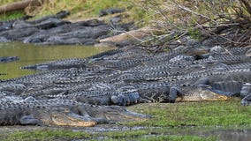 Over 100 gators gather at 'Deep Hole' in Myakka River State Park