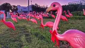 175 pink – plastic – flamingos are decked out to kickoff holiday festivities in downtown Clearwater