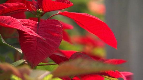Bradenton family has been growing poinsettias for decades