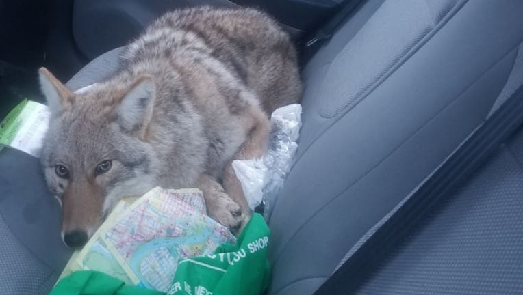 The animal Eli Boroditsky hit with his car last week was a coyote, not a dog like he thought.