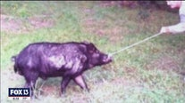 Hunting program announced to curb destruction caused by feral hogs