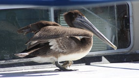 No longer unofficial: The brown pelican is finally the official city bird for St. Pete