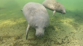 Disappearing seagrass at Florida lagoons hurting beloved manatees