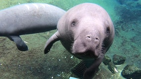 Manatee Awareness Month: Keep an eye out for Florida's migrating sea cows as temperatures cool