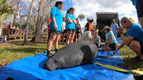 David A. Straz Jr. Manatee Critical Care Center at Zoo Tampa helps save the lives of these large marine mammals
