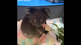 Volunteers care for orphaned koalas rescued from Australian wildfires