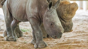 Endangered southern white rhino calf born at ZooTampa