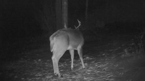 Deer caught shedding antlers in 'spectacular and unique' camera footage