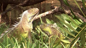 Pesky iguanas cost West Palm Beach $1.8 million in emergency repairs