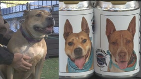 Adoptable dogs pictured on Motorworks Brewing lager cans