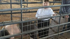 One year after kidney transplant, 9-year-old auctions prize-winning swine at Manatee County Fair