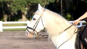 Herrmann's Royal Lipizzan Stallions are training at their Florida home – and you can see them
