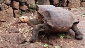 Diego the tortoise retires, high sex drive credited with helping to save his species in the Galapagos