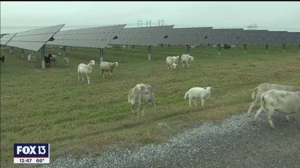 TECO debuts solar field 'lamb cam'