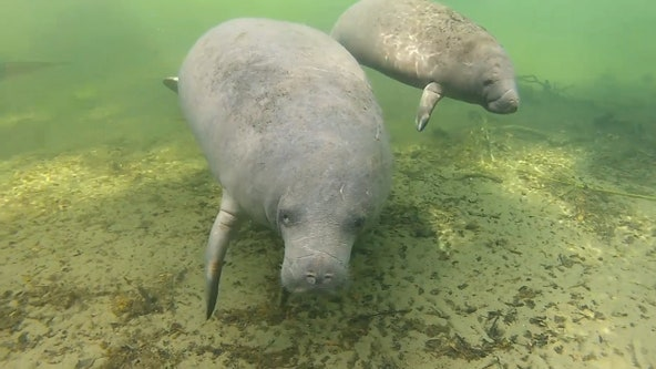 Manatee deaths are up, but pandemic put limits on necropsies