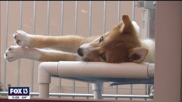 Hillsborough County looks to ban retail puppy sales