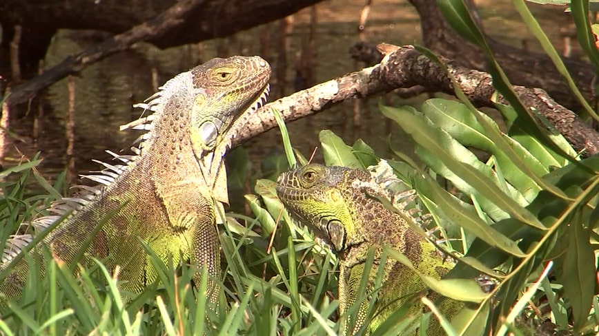 Pesky iguanas cost West Palm Beach $1.8 in emergency repairs