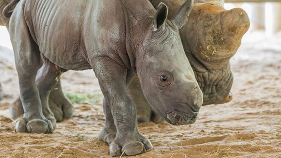 Endangered southern white rhino calf born at ZooTampa