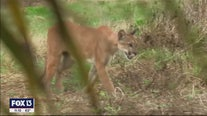 Neurological issue affecting Florida panthers more widespread than previously thought: FWC