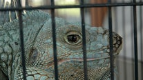 Florida bill would ban 9 reptile species, including iguanas, as pets
