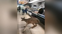 Deer races through grocery store