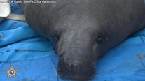 Rehabilitated manatees released back in Florida waters