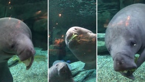These Florida manatees love their lettuce