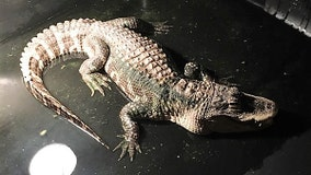 Ohio police remove alligator living in man's basement for 25 years
