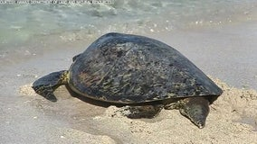 Turtle released into ocean after losing flipper in fishing line accident