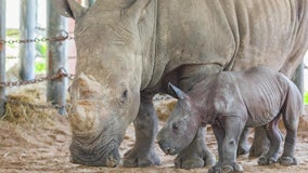 Zoo Tampa welcomes southern white rhino as part of species survival plan