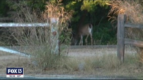 FWC considers new hunting regulation to prevent spread of 'zombie deer disease'