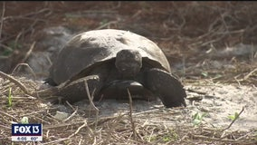 Once farmland, Perico Preserve now perfect home for once-homeless gopher tortoises