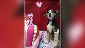 Rescue dogs to deliver Valentine's gifts