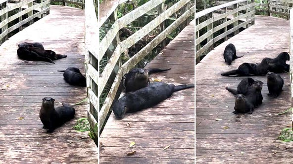 'Romp' of playful otters appear on Florida boardwalk