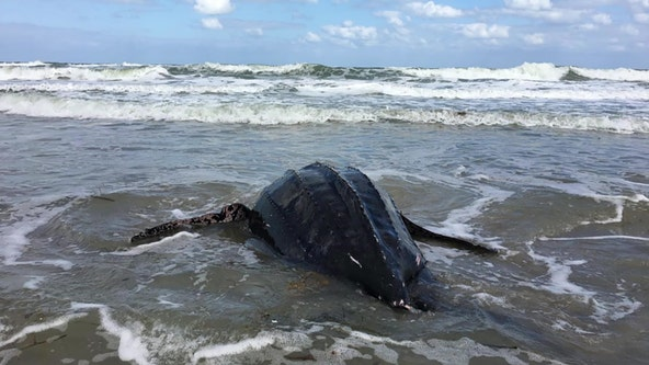 First leatherback sea turtle nest of 2020 is the earliest ever documented in Florida