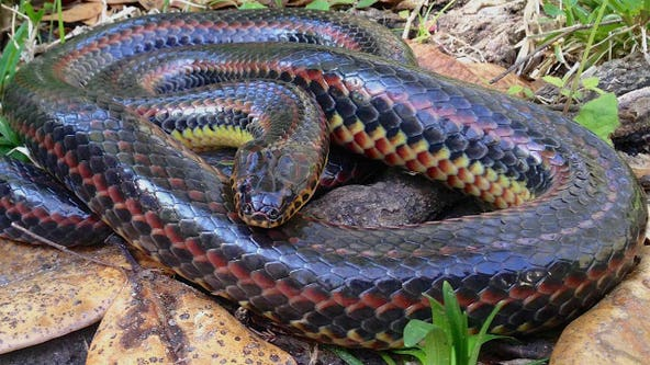 Rare rainbow snake seen in Ocala is first sighting of species since 1969