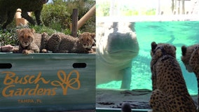 Cheetah cub siblings explore Busch Gardens while theme park remains closed
