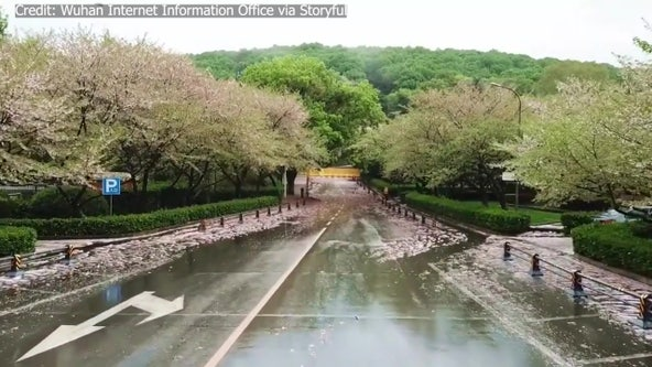 Cherry blossoms in Wuhan bloom as coronavirus-stricken city begins 'restarting'