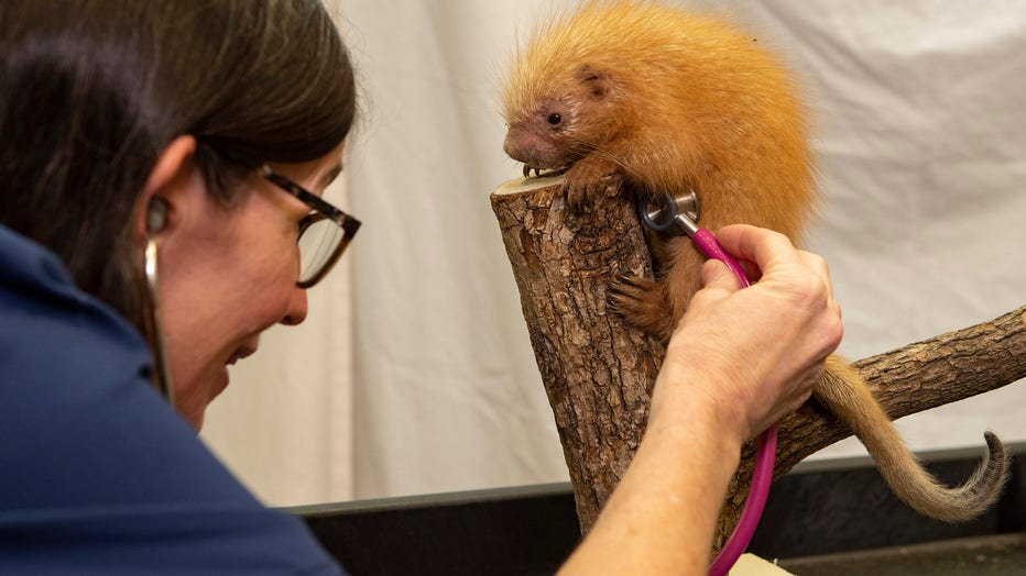 baby_porcupine_at_disneys_animal_kingdom_3.jpg