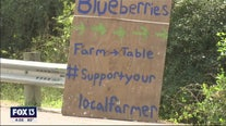 Fill a bucket with discount blueberries from Sarasota
