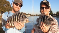 Inshore, there are lots of sheepshead around