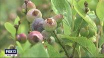 Blueberry farms offer big discounts for anyone willing to pick their own