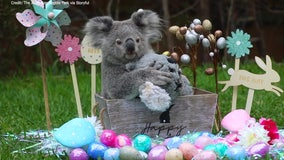 Young koala Elsa celebrates first Easter at Australian Reptile Park